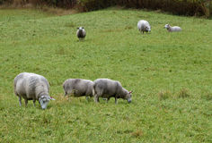 Nordic sheep Royalty Free Stock Photos
