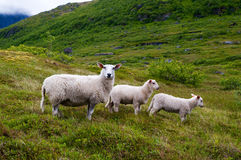Nordic sheep Stock Photography