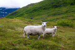 Nordic sheep Royalty Free Stock Image