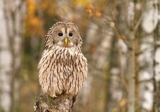 Nordic tawny owl Stock Images