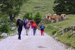 Nordic walkers at Dobrac mountain, Austria. A group of walkers is passing a herd of cows at the slopes of the Dobratsch Mountain at the end of the Villacher Royalty Free Stock Photo