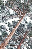 Nordic winter snowy frosty forest landscape background. Northern Beatiful pines up aerial view under snow day time. Lapland outdoo Royalty Free Stock Photos