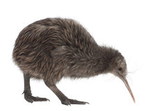 Nordinselbrown-Kiwi, Apteryx mantelli stockfotografie