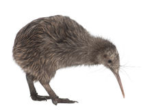 Nordinselbrown-Kiwi, Apteryx mantelli Lizenzfreie Stockfotos
