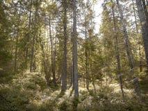 Nordisk skogsmark Arkivfoton