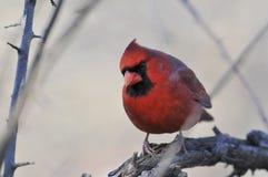 Nordkardinal: Cardinalis cardinalis Lizenzfreies Stockbild