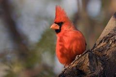 Nordkardinal, Cardinalis cardinalis Stockbilder