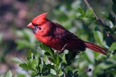 Nordkardinal, Cardinalis cardinalis Stockfotos