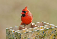 Nordkardinal (cardinalis cardinalis) Stockfotografie