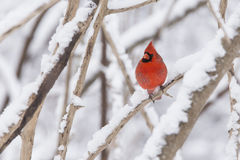 Nordkardinal im Schnee Lizenzfreies Stockfoto