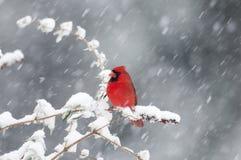 Nordkardinal im Schneesturm lizenzfreie stockbilder