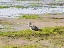 Nordkiebitz, Vanellus Vanellus, auf Sumpfgebiet von Waddensea, Ne lizenzfreie stockfotografie