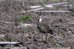 Nordkiebitz - Vanellus Vanellus stockfoto