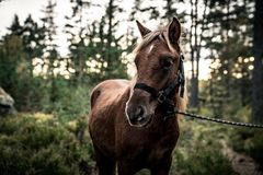 Nordland Horse from Norway Royalty Free Stock Photos
