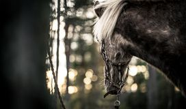 Nordland Horse from Norway Stock Photos