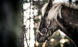 Nordland Horse from Norway Stock Photography