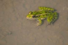Nordleopard-Frosch stockbild