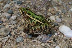 Nordleopard-Frosch (Lithobates-pipiens) sitzend auf Sand und Kies Lizenzfreie Stockfotografie