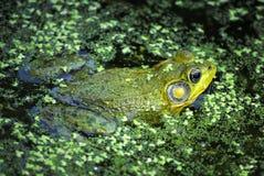 Nordleopard-Frosch, Rana pipiens Lizenzfreie Stockfotos