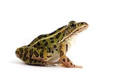 Nordleopardfrosch (Lithobates-pipiens) lizenzfreies stockbild