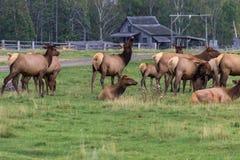 Nordlig älg i en skog av Kanada royaltyfri foto