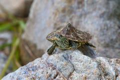 Nordlig översiktssköldpadda Royaltyfria Bilder