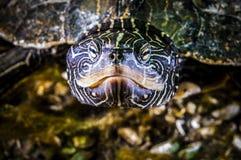 Nordlig översiktssköldpadda som är undervattens- i den StLawrence floden royaltyfria foton