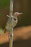 Nordlig Flicker (Colaptesauratus). Arkivfoton