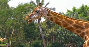 Nordlig giraffGiraffa Camelopardalis arkivfilmer