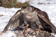 Nordlig goshawk som äter, når att ha jagat Royaltyfri Foto