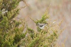Nordlig härmfågel med bäret i näbb Arkivfoto