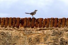 Nordlig härmfågel på en fästningbarriär Royaltyfri Foto