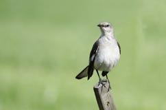 Nordlig härmfågel på staketet fotografering för bildbyråer