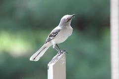 Nordlig härmfågel på staketstolpen arkivfoto