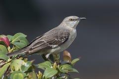 Nordlig härmfågel som sätta sig i en buske - Florida arkivfoton