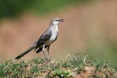 Nordlig härmfågel som sjunger, Georgia USA royaltyfria bilder
