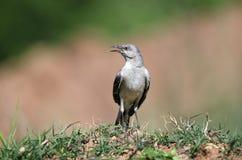 Nordlig härmfågel som sjunger, Georgia USA Arkivbild