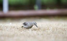 Nordlig härmfågeljakt för fel på Georgia gräsmatta fotografering för bildbyråer