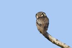 Nordlig hökOwl (Surniaululaen) Royaltyfria Foton