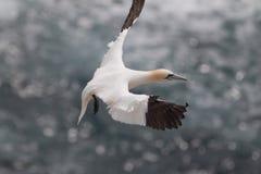 Nordlig havssula Fotografering för Bildbyråer