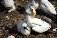 Nordlig havssula med hennes fågelunge Arkivfoton