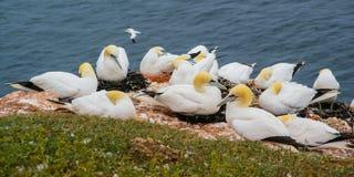 Nordlig havssula som är fcolony i Helgoland arkivfoton