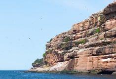 Nordlig havssulakoloni på Bonaventure Island royaltyfria bilder