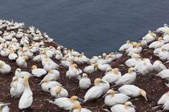 Nordlig havssulakoloni på Bonaventure Island royaltyfri foto