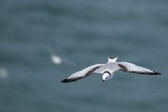 Nordlig havssulaMorusbassanus som bygga bo i UK Fotografering för Bildbyråer