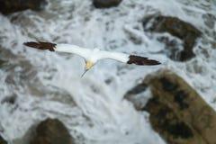 Nordlig havssulaMorusbassanus som bygga bo i UK Royaltyfri Foto