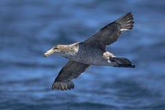 Nordlig jätte- stormfågel Arkivbilder