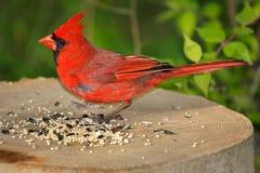 nordlig kardinal Royaltyfri Fotografi
