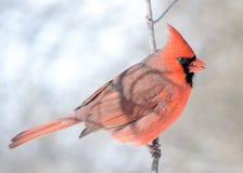 nordlig kardinal arkivfoto
