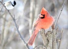 nordlig kardinal Fotografering för Bildbyråer